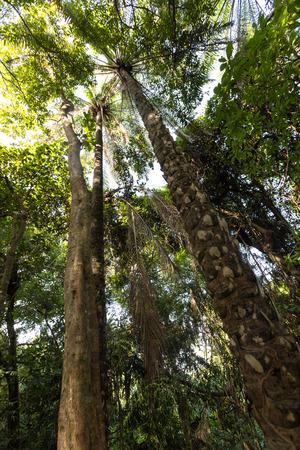 red palm oil: Palm oil trees in jungle, Burkina Faso