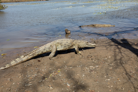 caiman: Sacred crocodile in Sabou, Burkina Faso, Africa Stock Photo