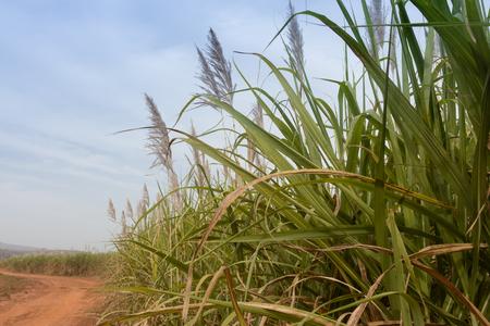 burkina faso: Sugarcane cultivations  in Cascades region, Burkina Faso