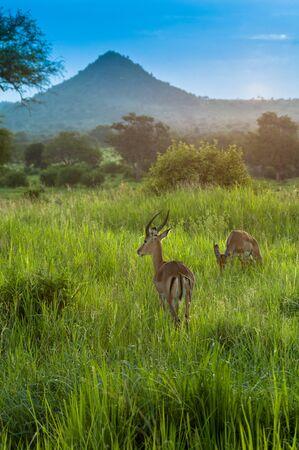 tanzania antelope: Antelope earing the danger, Serengeti game  park, Tanzania