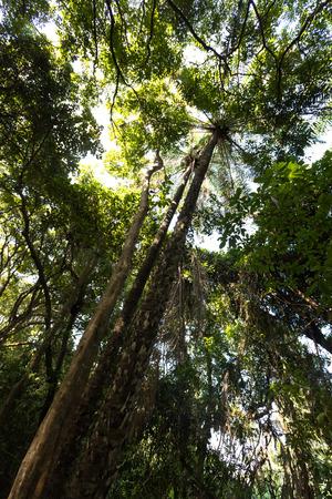 unsaturated fat: Palm oil trees in jungle, Burkina Faso