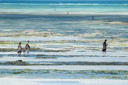polyps: Women fishing polyps with low tide in Zanzibar