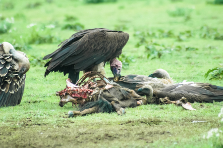 african wildebeest: Vultures feeding  in Ngorongoro national park, Tanzania