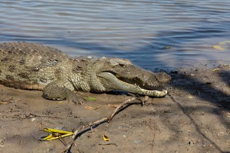 burkina faso: Sacred crocodile in Sabou, Burkina Faso, Africa Stock Photo