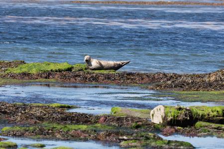 aran islands: Sea lion in Inishmore, Aran Islands, Ireland