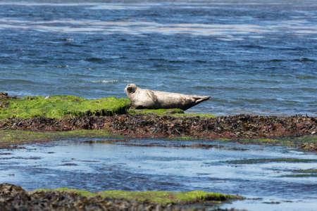 aran: Sea lion in Inishmore, Aran Islands, Ireland