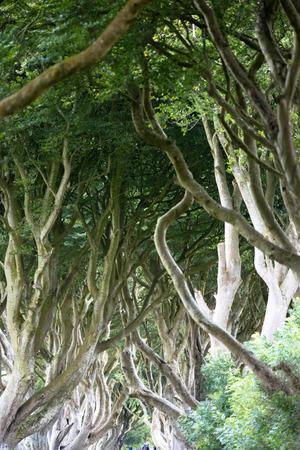 frightful: The Dark Hedges near Ballymoney, Antrim in Northern Ireland Stock Photo