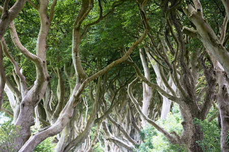 hedges: The Dark Hedges near Ballymoney, Antrim in Northern Ireland Stock Photo
