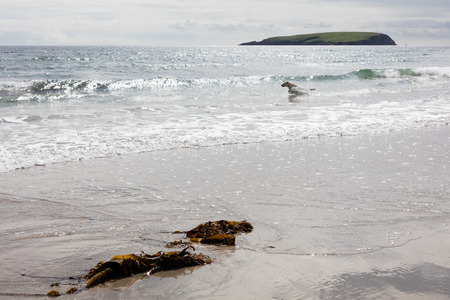 omitted: Dog playing in a beach in Ireland. Stock Photo
