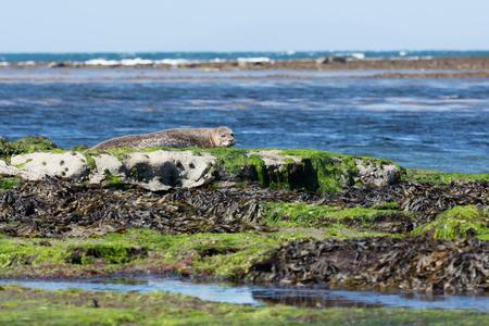 sea lion: Sea lion in Inishmore, Aran Islands, Ireland