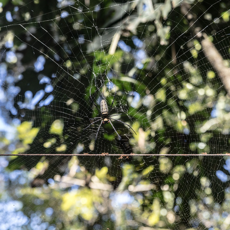 arachnoid: spider on a web  and ants, Laos.