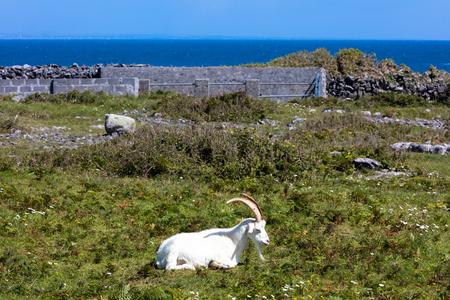 A goat in Inishmore, Aran Islands, Ireland Stock Photo
