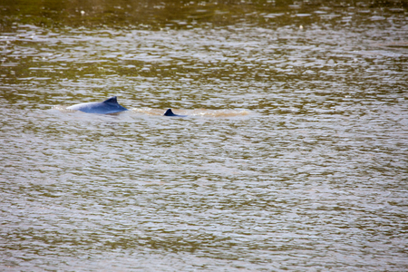 pink dolphin: Inia geoffrensis , pink dolphin,  a mammal of  amazon river Brazil