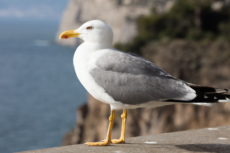 seagull isolated  standing on his feet . Italy