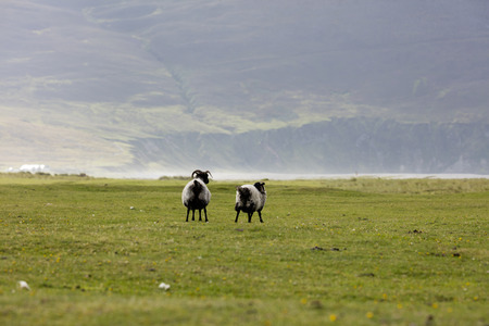 is green: Group of sheep grazing on meadow in Ireland