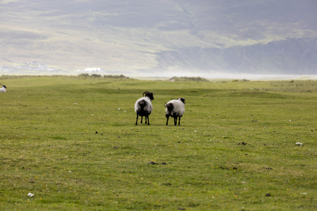 Group of sheep grazing on meadow in Ireland