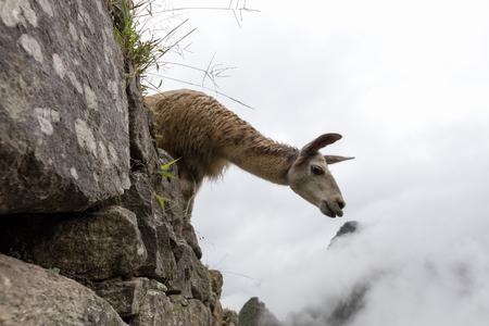 LLama in Machu Picchu ( a UNESCO World Heritage Site