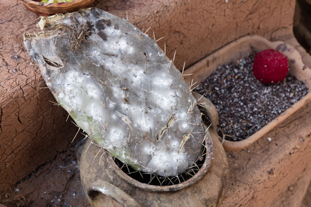 Cottony Cushion Scale, a parasite of cactus utilized as natural dye