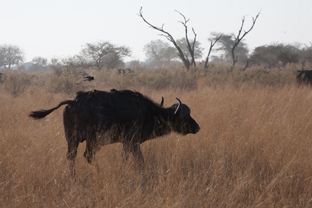 Buffalo and cleaning bird, game reserve,Botswana