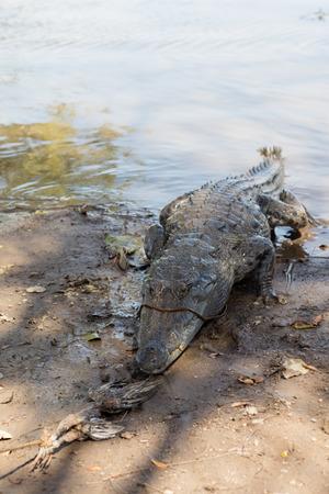 Sacred crocodile in Sabou, Burkina Faso, Africa Stock Photo