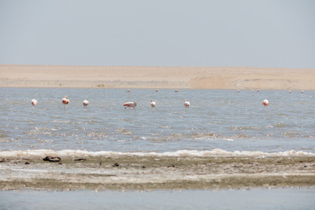 Flamingos chilenos  in National reserve of Paracas, Peru