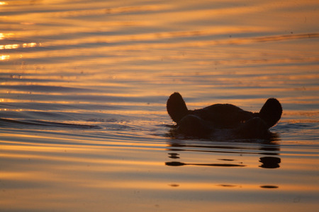 Game reseve, Botswana , hyppo at sunset