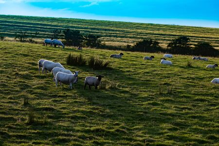 Sheep in meadow in Northern Ireland