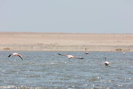 Flamingos chilenos  in National reserve of Paracas, Peru