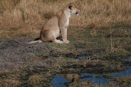 Lioness, Chobe national park reserve, Botswana