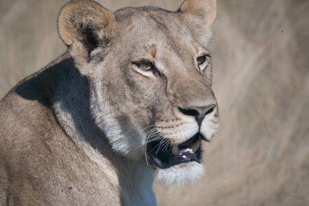 Lioness, Chobe national park reserve, Botswana Stok Fotoğraf - 139645147