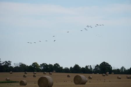 Hay rolls in field with birds