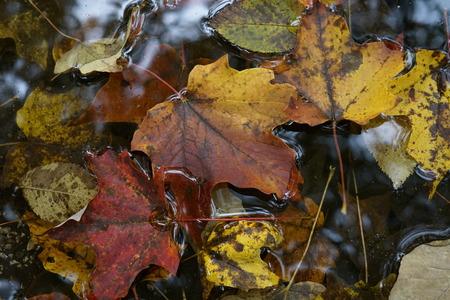 Autumn leaves on pond Stok Fotoğraf