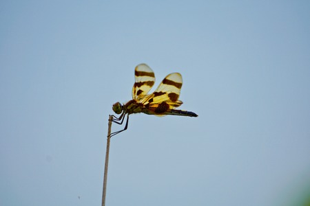 Dragonfly perched on stem with sky background