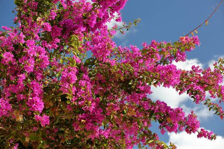 Purple / pink bougainvillea in bloom, branches richly covered with flowers, against blue sky close up Stock Photo