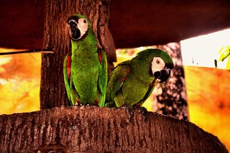 loros verdes: Dos loros verdes simplemente relajarse en su lugar favorito juntos.