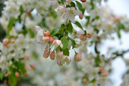 begonia: Am�rica del Norte Begonia Foto de archivo