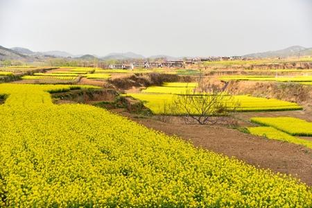 rapeseed: Rapeseed fields
