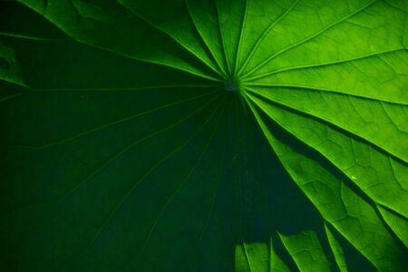 lotus leaf: lotus leaf under backlight