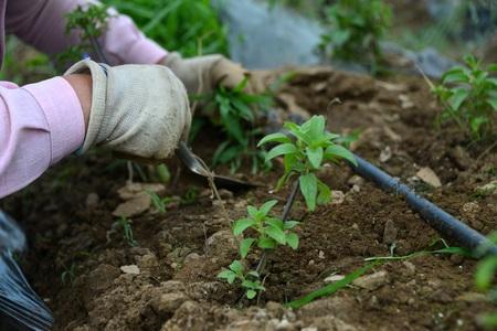 weeds: Workers pull weeds