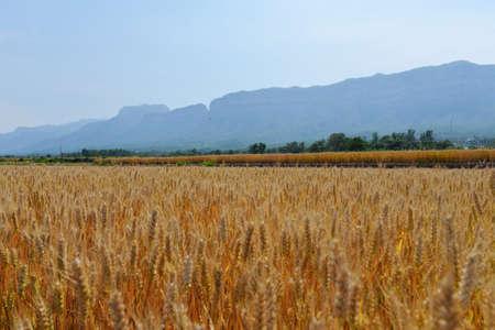 cultivo de trigo: campo de trigo maduro