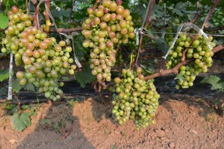 fruitage: Grape