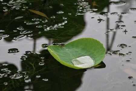 lotus leaf: Lotus leaf on the dew Stock Photo