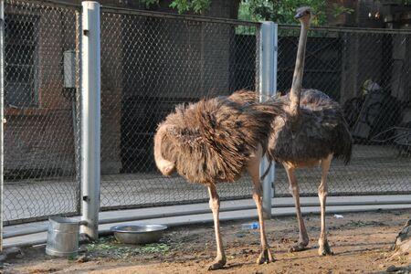ostrich: Avestruz de zoológico  Foto de archivo