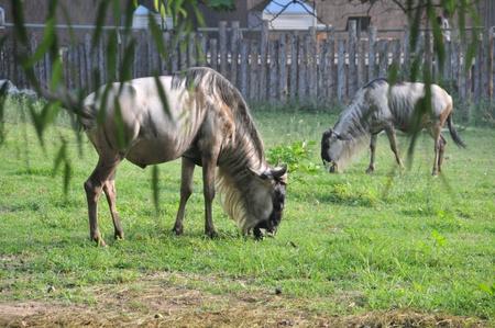 wildebeest: The wildebeest