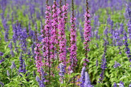violette fleur: