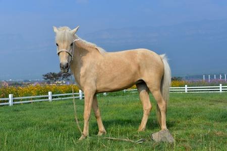 芝生の上の牧草地の馬 写真素材