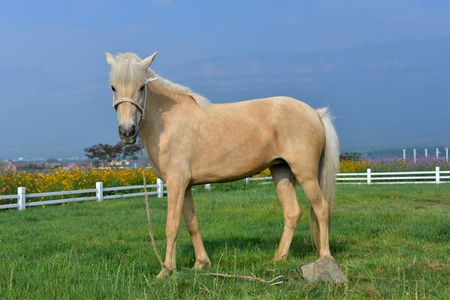 herbivorous animals: A pasture horse on the lawn Stock Photo