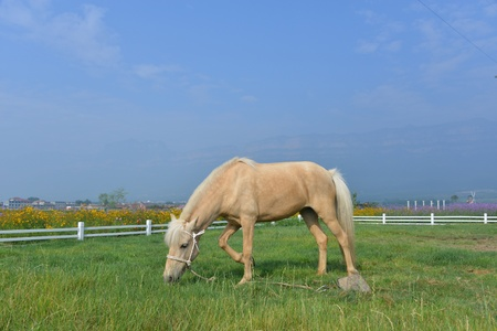 herbivorous animals: A pasture horse on the lawn