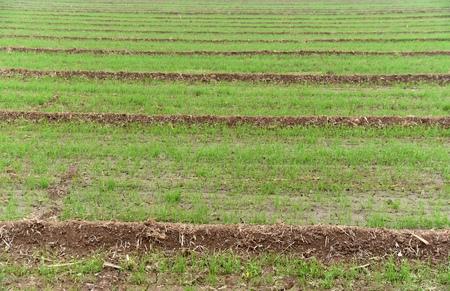 winter wheat: Winter wheat field Stock Photo
