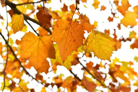 shu: Golden leaves